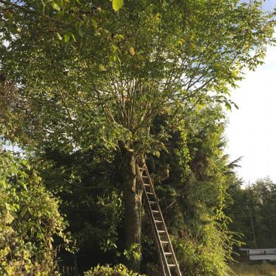 Abattage a Sury en Vaux 18 Demontage Noyer avant