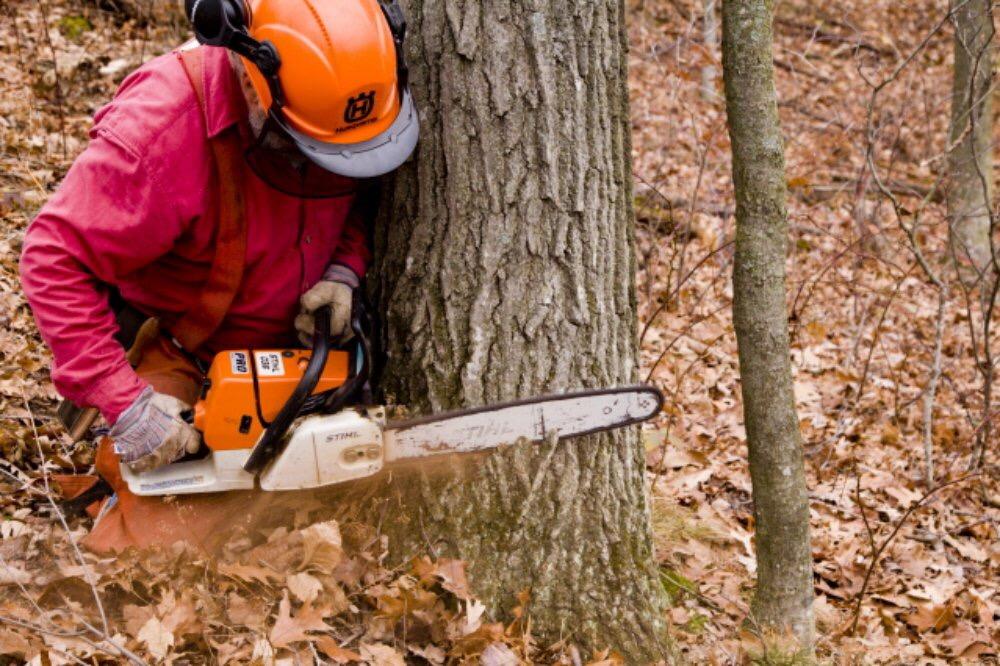 Abattage d'un arbre démontage d'un chêne a la tronçonneuse 1