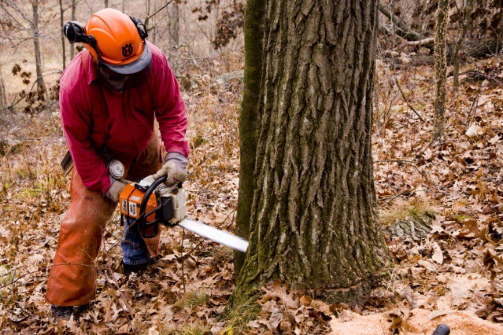 Abattage d'un arbre démontage d'un chêne a la tronçonneuse 2