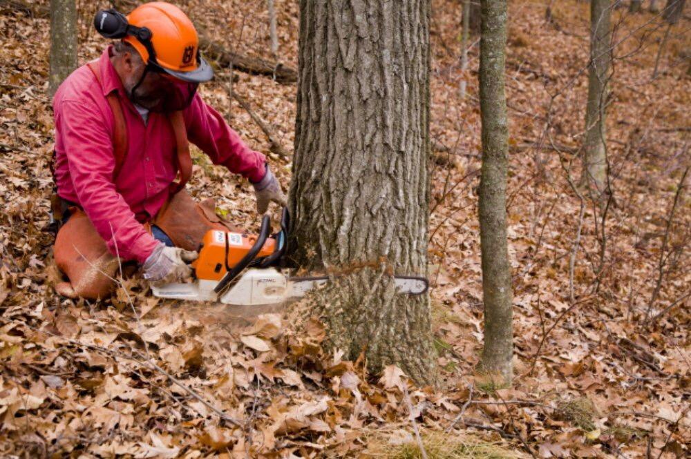 Abattage d'un arbre démontage d'un chêne a la tronçonneuse 3