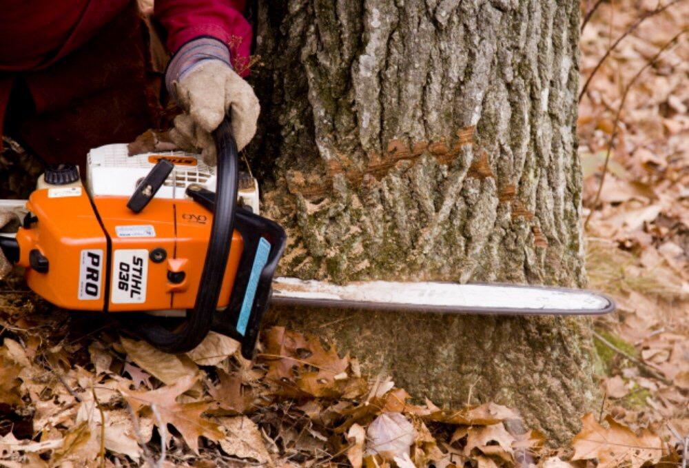 Abattage d'un arbre démontage d'un chêne a la tronçonneuse 4
