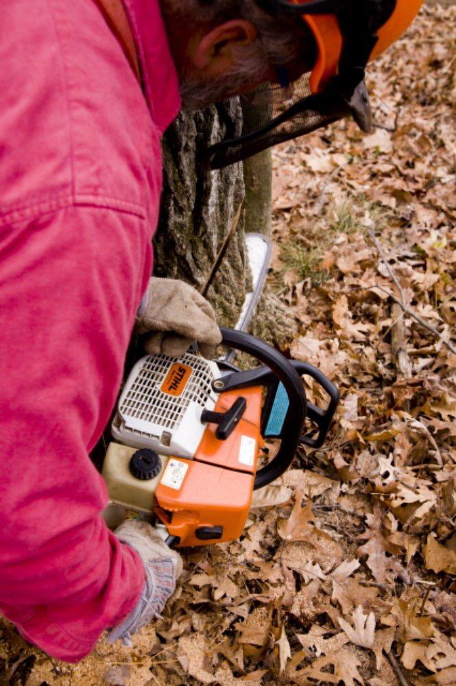 Abattage d'un arbre démontage d'un chêne a la tronçonneuse 5