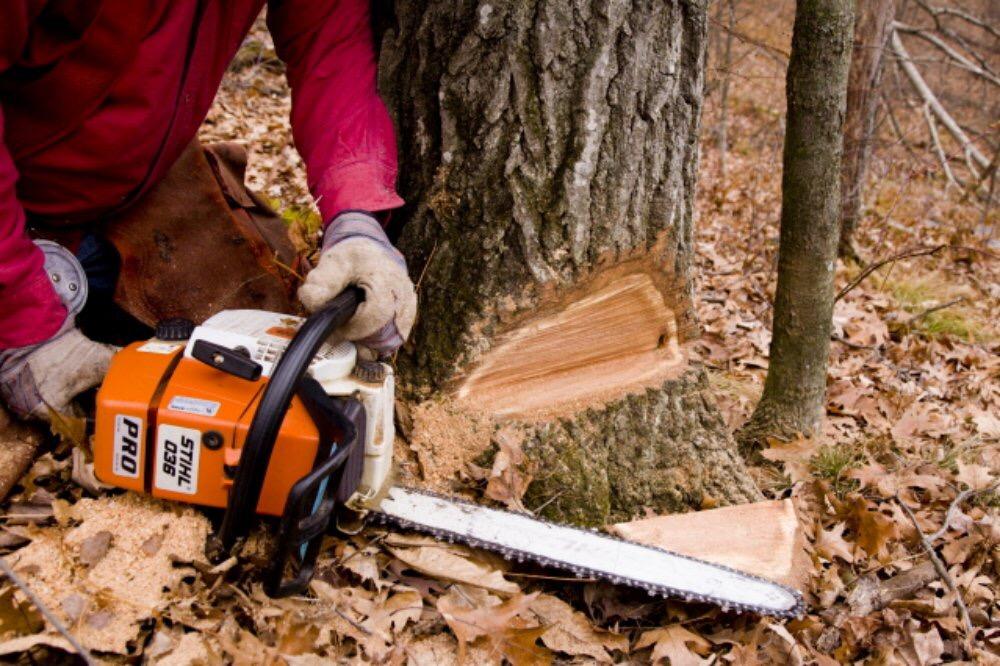 Abattage d'un arbre démontage d'un chêne a la tronçonneuse 6