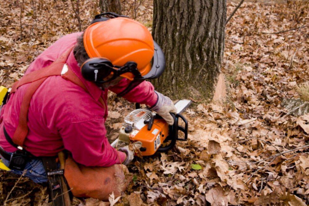 Abattage d'un arbre démontage d'un chêne a la tronçonneuse 7