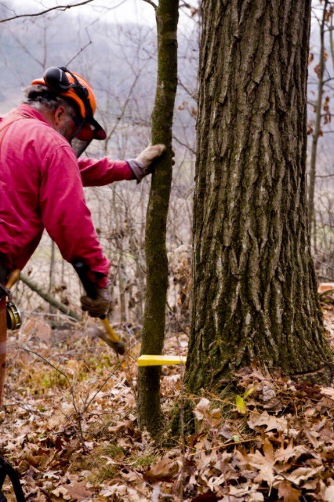 Abattage d'un arbre démontage d'un chêne a la tronçonneuse 9