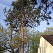 Elagueur grimpeur dans la nievre 58 abattage d'un pin 2