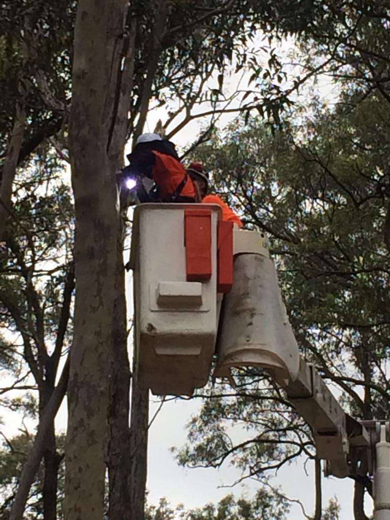 Intervention sur un arbre avec nacelle